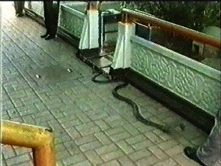 Effects of Cobra Venom