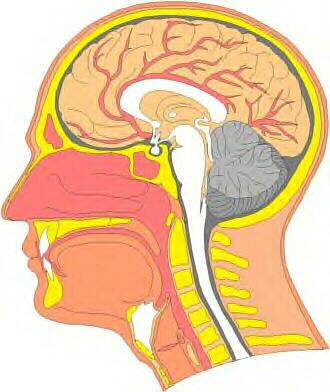 hypothalamus and pituitary gland. LIMBIC–HYPOTHALAMIC–PITUITARY–